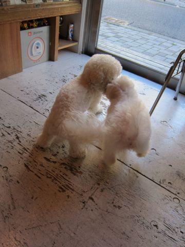 ビションフリーゼ子犬おんなのこ女の子メスあかちゃんビションこいぬフントヒュッテ東京かわいいビションフリーゼのいるお店文京区hundehutteビションフリーゼ画像160.jpg