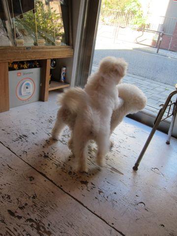ビションフリーゼ子犬おんなのこ女の子メスあかちゃんビションこいぬフントヒュッテ東京かわいいビションフリーゼのいるお店文京区hundehutteビションフリーゼ画像161.jpg