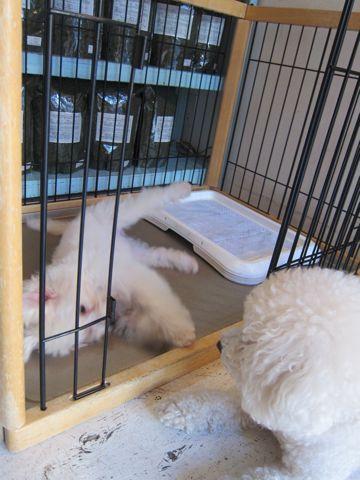 ビションフリーゼ子犬おんなのこ女の子メスあかちゃんビションこいぬフントヒュッテ東京かわいいビションフリーゼのいるお店文京区hundehutteビションフリーゼ画像172.jpg