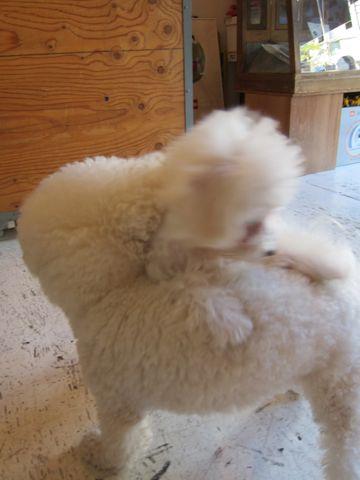 ビションフリーゼ子犬おんなのこ女の子メスあかちゃんビションこいぬフントヒュッテ東京かわいいビションフリーゼのいるお店文京区hundehutteビションフリーゼ画像174.jpg