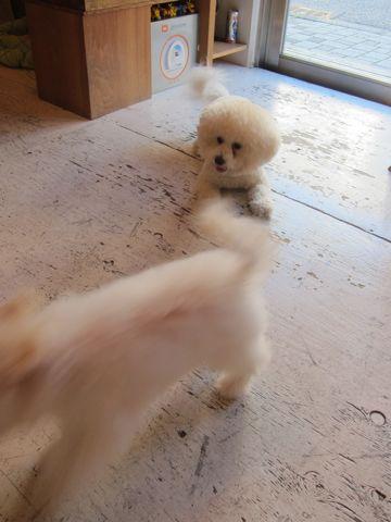 ビションフリーゼ子犬おんなのこ女の子メスあかちゃんビションこいぬフントヒュッテ東京かわいいビションフリーゼのいるお店文京区hundehutteビションフリーゼ画像187.jpg
