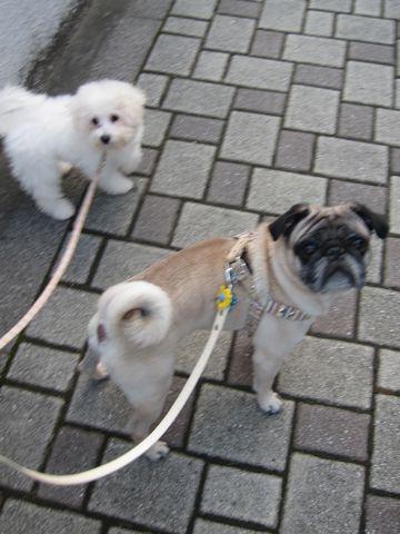 ビションフリーゼ子犬おんなのこ女の子メスあかちゃんビションこいぬフントヒュッテ東京かわいいビションフリーゼのいるお店文京区hundehutteビションフリーゼ画像191.jpg
