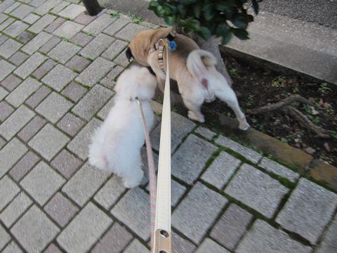 ビションフリーゼ子犬おんなのこ女の子メスあかちゃんビションこいぬフントヒュッテ東京かわいいビションフリーゼのいるお店文京区hundehutteビションフリーゼ画像192.jpg