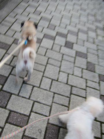 ビションフリーゼ子犬おんなのこ女の子メスあかちゃんビションこいぬフントヒュッテ東京かわいいビションフリーゼのいるお店文京区hundehutteビションフリーゼ画像193.jpg