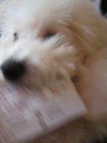 ビションフリーゼ子犬おんなのこ女の子メスあかちゃんビションこいぬフントヒュッテ東京かわいいビションフリーゼのいるお店文京区hundehutteビションフリーゼ画像208.jpg