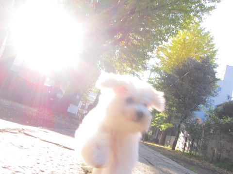 ビションフリーゼ子犬おんなのこ女の子メスあかちゃんビションこいぬフントヒュッテ東京かわいいビションフリーゼのいるお店文京区hundehutteビションフリーゼ画像236.jpg