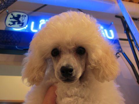 プードルフントヒュッテ東京トイプードルかわいい子犬こいぬ文京区本駒込hundehutte仔犬プードルショータイプブリーダープードルカットトイプードル画像1.jpg