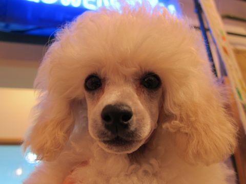 プードルフントヒュッテ東京トイプードルかわいい子犬こいぬ文京区本駒込hundehutte仔犬プードルショータイプブリーダープードルカットトイプードル画像2.jpg