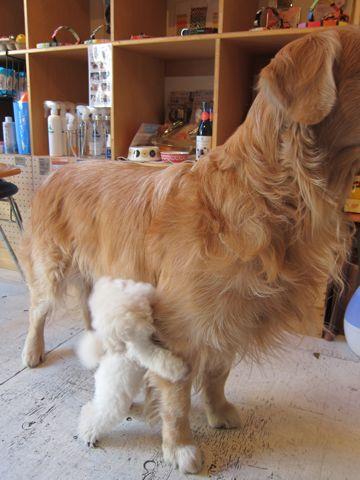 プードルフントヒュッテ東京トイプードルかわいい子犬こいぬ文京区本駒込hundehutte仔犬プードルショータイプブリーダープードルカットトイプードル画像55.jpg