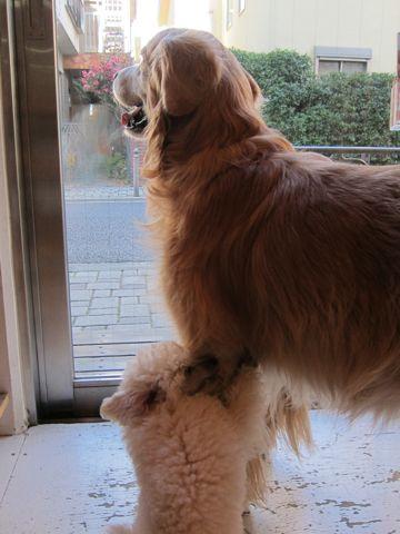 プードルフントヒュッテ東京トイプードルかわいい子犬こいぬ文京区本駒込hundehutte仔犬プードルショータイプブリーダープードルカットトイプードル画像58.jpg