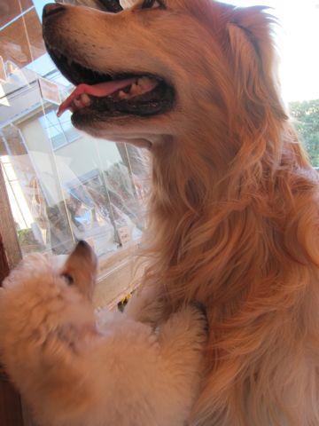 プードルフントヒュッテ東京トイプードルかわいい子犬こいぬ文京区本駒込hundehutte仔犬プードルショータイプブリーダープードルカットトイプードル画像68.jpg