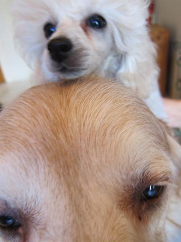 プードルフントヒュッテ東京トイプードルかわいい子犬こいぬ文京区本駒込hundehutte仔犬プードルショータイプブリーダープードルカットトイプードル画像71.jpg