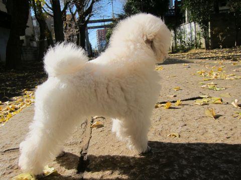 プードルフントヒュッテ東京トイプードルかわいい子犬こいぬ文京区本駒込hundehutte仔犬プードルショータイプブリーダープードルカットトイプードル画像96.jpg