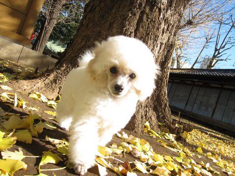 プードルフントヒュッテ東京トイプードルかわいい子犬こいぬ文京区本駒込hundehutte仔犬プードルショータイプブリーダープードルカットトイプードル画像98.jpg