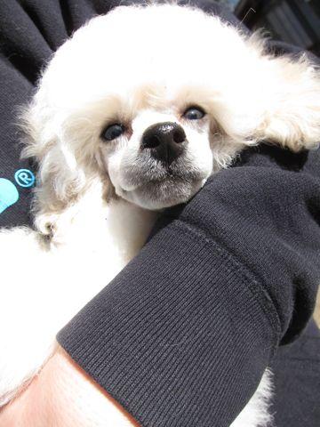 プードルフントヒュッテ東京トイプードルかわいい子犬こいぬ文京区本駒込hundehutte仔犬プードルショータイプブリーダープードルカットトイプードル画像99.jpg