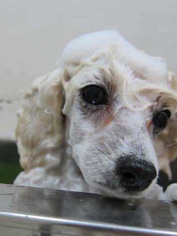 プードルフントヒュッテ東京トイプードルかわいい子犬こいぬ文京区本駒込hundehutte仔犬プードルショータイプブリーダープードルカットトイプードル画像108.jpg