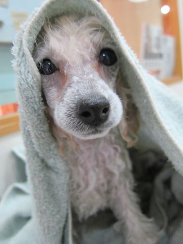 プードルフントヒュッテ東京トイプードルかわいい子犬こいぬ文京区本駒込hundehutte仔犬プードルショータイプブリーダープードルカットトイプードル画像111.jpg