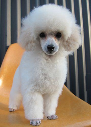 プードルフントヒュッテ東京トイプードルかわいい子犬こいぬ文京区本駒込hundehutte仔犬プードルショータイプブリーダープードルカットトイプードル画像115.jpg