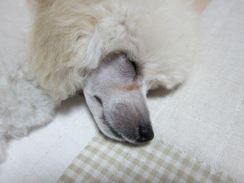 プードルフントヒュッテ東京トイプードルかわいい子犬こいぬ文京区本駒込hundehutte仔犬プードルショータイプブリーダープードルカットトイプードル画像119.jpg