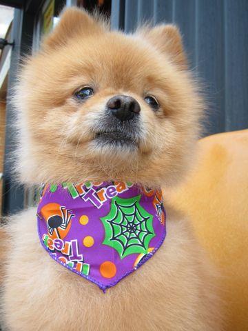 ミックス犬トリミングハーフ犬ポメラニアンとチワワのミックス犬トリミング文京区フントヒュッテナノオゾンペットシャワー使用トリミングサロン東京ポメチワポメ2.jpg