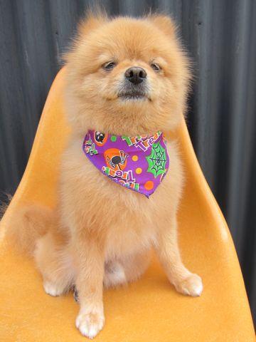 ミックス犬トリミングハーフ犬ポメラニアンとチワワのミックス犬トリミング文京区フントヒュッテナノオゾンペットシャワー使用トリミングサロン東京ポメチワポメ3.jpg