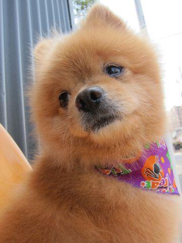 ミックス犬トリミングハーフ犬ポメラニアンとチワワのミックス犬トリミング文京区フントヒュッテナノオゾンペットシャワー使用トリミングサロン東京ポメチワポメ4.jpg