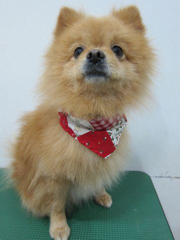 ミックス犬トリミングハーフ犬ポメラニアンとチワワのミックス犬トリミング文京区フントヒュッテナノオゾンペットシャワー使用トリミングサロン東京ポメチワポメ8.jpg