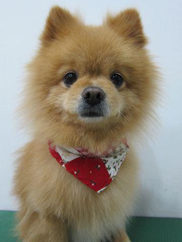 ミックス犬トリミングハーフ犬ポメラニアンとチワワのミックス犬トリミング文京区フントヒュッテナノオゾンペットシャワー使用トリミングサロン東京ポメチワポメ9.jpg