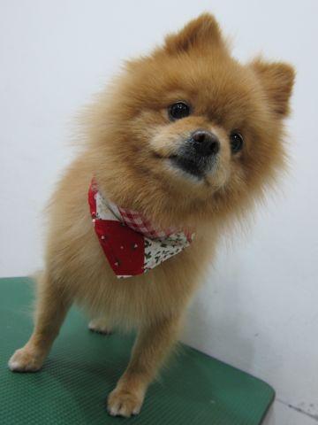 ミックス犬トリミングハーフ犬ポメラニアンとチワワのミックス犬トリミング文京区フントヒュッテナノオゾンペットシャワー使用トリミングサロン東京ポメチワポメ10.jpg