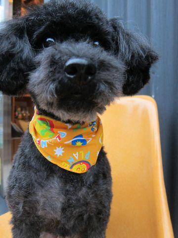 ミックス犬トリミングハーフ犬トイプードルとシュナウザーのミックス犬トリミング文京区フントヒュッテナノオゾンペットシャワー使用東京シュナプートリミング1.jpg