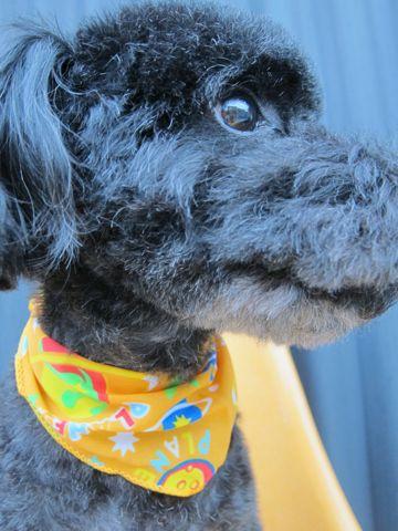 ミックス犬トリミングハーフ犬トイプードルとシュナウザーのミックス犬トリミング文京区フントヒュッテナノオゾンペットシャワー使用東京シュナプートリミング2.jpg