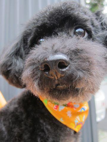 ミックス犬トリミングハーフ犬トイプードルとシュナウザーのミックス犬トリミング文京区フントヒュッテナノオゾンペットシャワー使用東京シュナプートリミング3.jpg