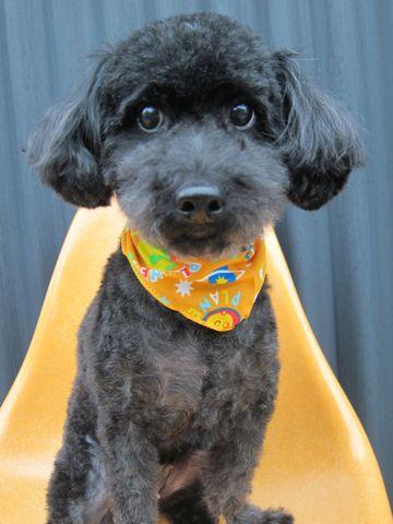 ミックス犬トリミングハーフ犬トイプードルとシュナウザーのミックス犬トリミング文京区フントヒュッテナノオゾンペットシャワー使用東京シュナプートリミング4.jpg