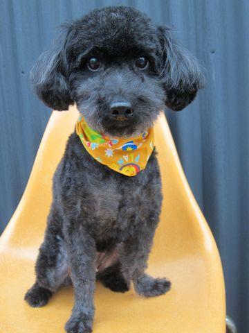 ミックス犬トリミングハーフ犬トイプードルとシュナウザーのミックス犬トリミング文京区フントヒュッテナノオゾンペットシャワー使用東京シュナプートリミング5.jpg