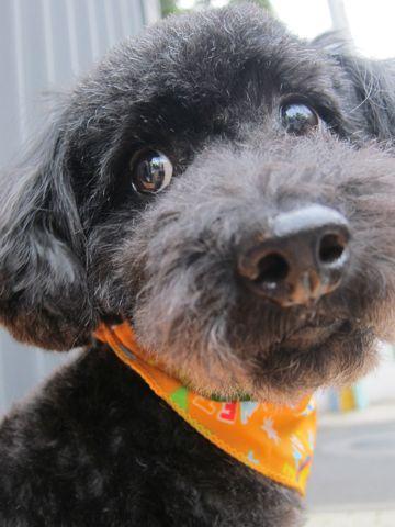 ミックス犬トリミングハーフ犬トイプードルとシュナウザーのミックス犬トリミング文京区フントヒュッテナノオゾンペットシャワー使用東京シュナプートリミング6.jpg