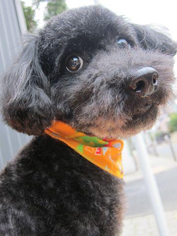 ミックス犬トリミングハーフ犬トイプードルとシュナウザーのミックス犬トリミング文京区フントヒュッテナノオゾンペットシャワー使用東京シュナプートリミング7.jpg