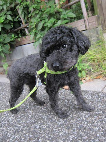 ミックス犬トリミングハーフ犬トイプードルとシュナウザーのミックス犬トリミング文京区フントヒュッテナノオゾンペットシャワー使用東京シュナプートリミング8.jpg