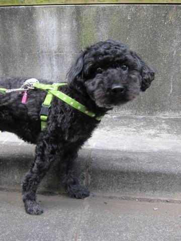 ミックス犬トリミングハーフ犬トイプードルとシュナウザーのミックス犬トリミング文京区フントヒュッテナノオゾンペットシャワー使用東京シュナプートリミング9.jpg
