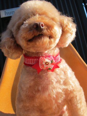 トイプードルトリミング文京区ナノオゾンペットシャワー東京フントヒュッテ犬歯みがき犬ハーブパック効果トイプードルテディベアカット駒込hundehutte20.jpg