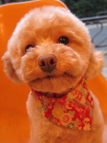 トイプードルトリミング文京区ナノオゾンペットシャワー東京フントヒュッテ犬歯みがき犬ハーブパック効果トイプードルテディベアカット駒込hundehutte35.jpg