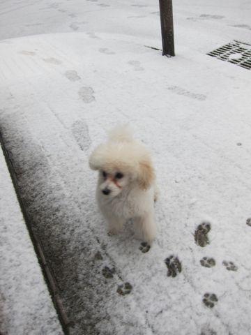 プードルフントヒュッテ東京トイプードルかわいい子犬こいぬ文京区本駒込hundehutte仔犬プードルショータイプブリーダープードルカットトイプードル画像212.jpg