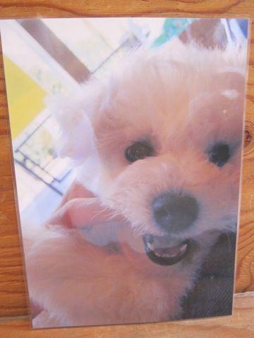 ビションフリーゼトリミング文京区フントヒュッテナノオゾンペットシャワー使用トリミングサロン東京ビションフリーゼカットスタイル犬ハーブパック効果45.jpg
