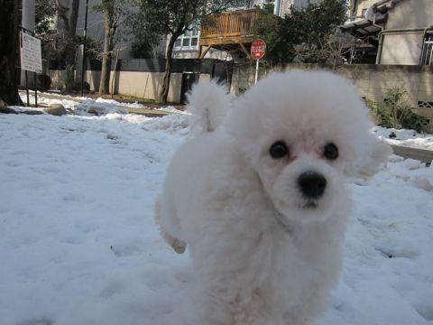 プードルフントヒュッテ東京トイプードルかわいい子犬こいぬ文京区本駒込hundehutte仔犬プードルショータイプブリーダープードルカットトイプードル画像213.jpg