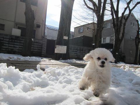 プードルフントヒュッテ東京トイプードルかわいい子犬こいぬ文京区本駒込hundehutte仔犬プードルショータイプブリーダープードルカットトイプードル画像220.jpg