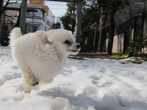 プードルフントヒュッテ東京トイプードルかわいい子犬こいぬ文京区本駒込hundehutte仔犬プードルショータイプブリーダープードルカットトイプードル画像223.jpg