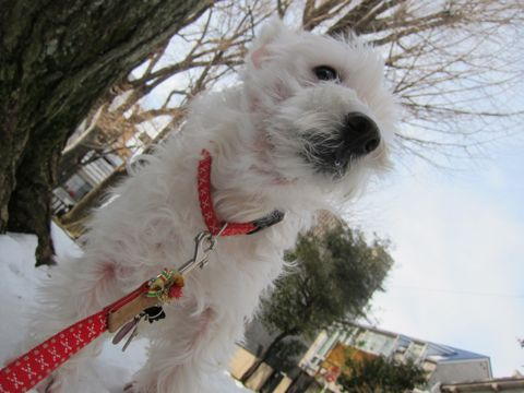 プードルフントヒュッテ東京トイプードルかわいい子犬こいぬ文京区本駒込hundehutte仔犬プードルショータイプブリーダープードルカットトイプードル画像230.jpg