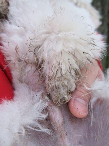プードルフントヒュッテ東京トイプードルかわいい子犬こいぬ文京区本駒込hundehutte仔犬プードルショータイプブリーダープードルカットトイプードル画像237.jpg
