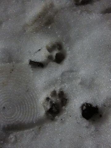 プードルフントヒュッテ東京トイプードルかわいい子犬こいぬ文京区本駒込hundehutte仔犬プードルショータイプブリーダープードルカットトイプードル画像243.jpg