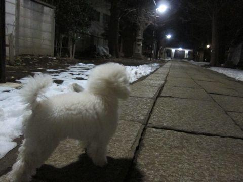 プードルフントヒュッテ東京トイプードルかわいい子犬こいぬ文京区本駒込hundehutte仔犬プードルショータイプブリーダープードルカットトイプードル画像245.jpg