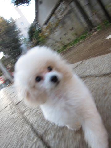 プードルフントヒュッテ東京トイプードルかわいい子犬こいぬ文京区本駒込hundehutte仔犬プードルショータイプブリーダープードルカットトイプードル画像253.jpg